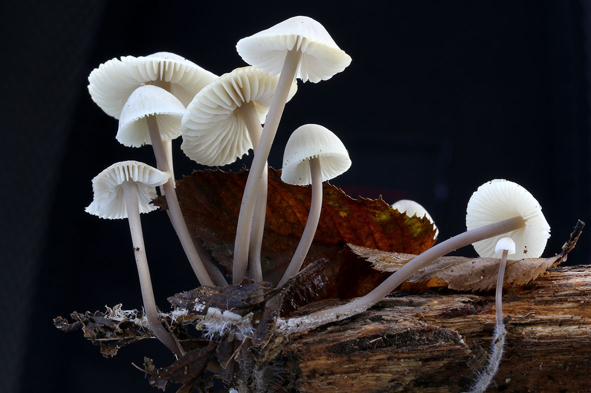 CS Heartwood Mycena arcangeliana.JPG
